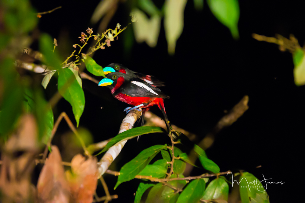 Black & Red BroadBill