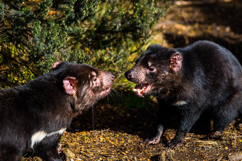 Male Tasmanian Devils