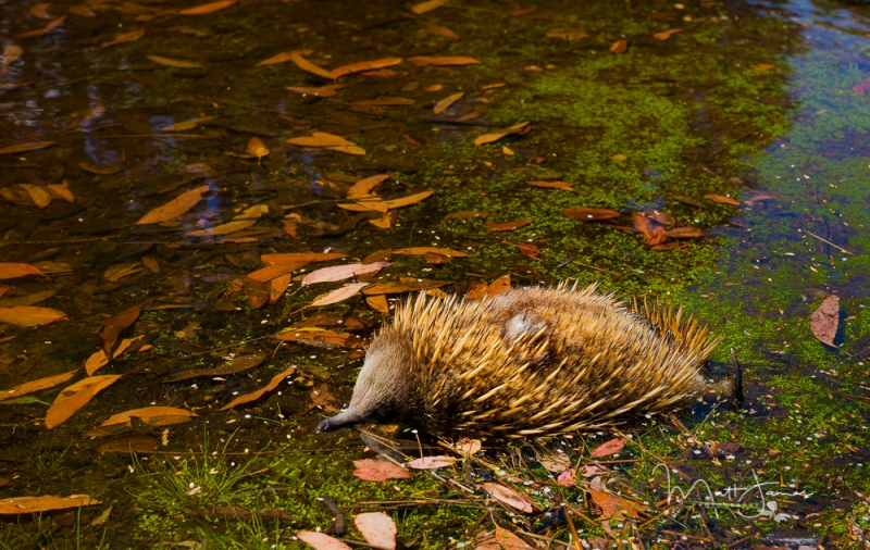 Echidnas afternoon paddle