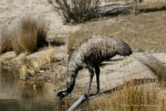 Thirsty Emu