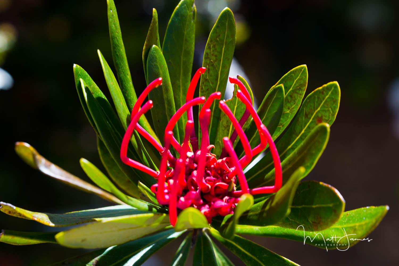 Tasmanian Waratah, Telopea truncata