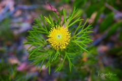 Broad-leaved Drumstick - Isopogon anomonefolius