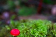 Fungi - Mycena viscidocruenta